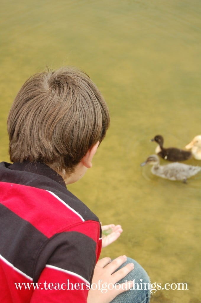 How to Study Ducks - close up to three orphan ducks