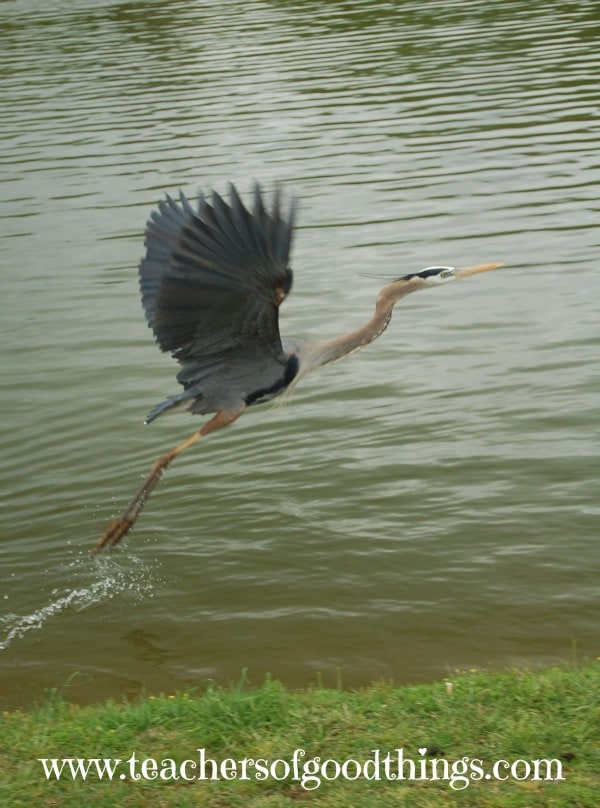 How to Study Great Blue Herons